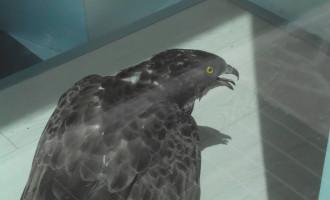 Un falco entra in un negozio, catturato dalle Gev