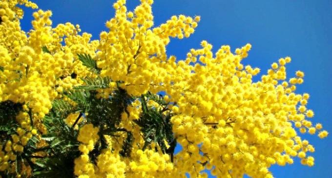 Cinisello, la polizia locale sequestra 300 mazzi di mimose vendute abusivamente