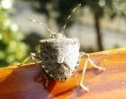Invasioni di insetti: nel Nordmilano tornano le cimici dall'Asia