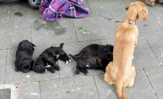 Famiglia vive con 13 cani, di cui uno morto. I carabinieri sequestrano gli animali a Cologno