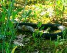 Grugnotorto, avvistato grosso serpente nella zona di Cinisello