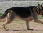 Polpette avvelenate: allarme per i cani a Cascina Gatti