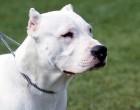 Scontro tra cani: grave il meticcio, ferito il padrone del dogo