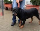 Lndc: Oreste e Pepita, due rottweiler in cerca di casa