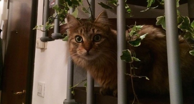 Una ricompensa di 100 euro per chi ritrova il gatto Uva, smarrito a Bresso