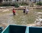 Operazione tartarughe e pesci. Pesca di primavera a Villa Mylius a Sesto