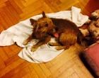 Cane ritrovato a Cinisello: l'appello corre su Facebook
