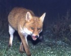 Sparvieri e volpi: ecco gli animali che popolano il Parco Nord