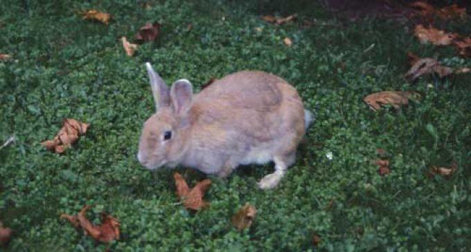 Moria di conigli al Parco Media Valle Lambro. E' epidemia