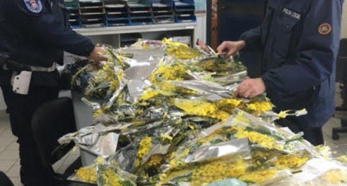 Maxi sequestro di mimose: la polizia locale di Sesto contro il commercio abusivo